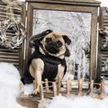 Dressed up Pug sitting on bridge in a winter scenery Stock Photo