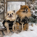 Dressed-up Spitz and Chihuahua on a bridge Royalty Free Stock Photography