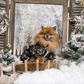 Dressed-up Spitz sitting on bridge Royalty Free Stock Photo