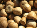 Dried Areca nuts close up Stock Images
