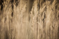 Dried Autumn Weeds Sepia Royalty Free Stock Photography
