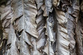 Dried banana leaves Royalty Free Stock Photo