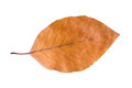 Dried Beech leaf Royalty Free Stock Photo