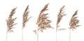 Dried Bush Grass Panicles On W...