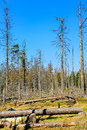 Dried coniferous forest in national park harz Royalty Free Stock Photo
