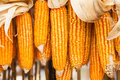 Dried corn on cobs hung on the beam Stock Image