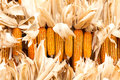 Dried corn on cobs hung on the beam Royalty Free Stock Photo