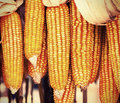 Dried corn lomo color on cobs hung on the beam Royalty Free Stock Photos