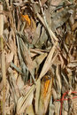 Dried corn stalks Royalty Free Stock Photo