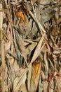 Dried corn stalks Royalty Free Stock Photo
