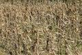 Dried corn stalks background Royalty Free Stock Photo