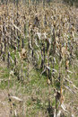 Dried corn stalks background 2 Royalty Free Stock Photo