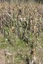 Dried corn stalks background 2 Royalty Free Stock Photo