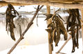 Dried fish of the aborigines Kamchatka Royalty Free Stock Photo