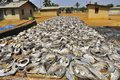 Dried fish in the village sun of an african africa drcongo Royalty Free Stock Photo