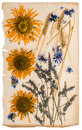 Dried flowers on aged paper sheet. herbarium of sunflowers, corn Royalty Free Stock Photo