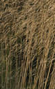 Dried grass with limited focus Royalty Free Stock Image