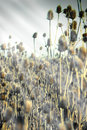 Dried herb burdock thistle lit by the sun s rays velcro sunlight Royalty Free Stock Image