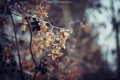Dried hop flowers in hoarfrost winter of Stock Image