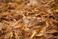 Dried leaves at autumn lots of brown fallen on ground Stock Photography