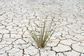 Dried little grass try to be alive on a cracked soil Royalty Free Stock Images