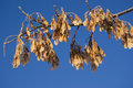 Dried maple seeds on a branch of maple Royalty Free Stock Photo