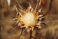 Dried milk thistle this is an example of the everlasting beauty of nature Royalty Free Stock Images