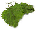 Dried nettle Royalty Free Stock Image