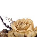 Dried out creamy rose Royalty Free Stock Photo