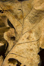 Dried out old leaf Royalty Free Stock Photo