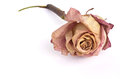 Dried pink rose.Closeup Royalty Free Stock Photo