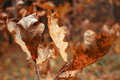 Dried poplar leaf in autumn macro picture of on forest background Stock Photography