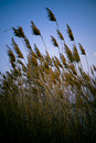 Dried Reeds Royalty Free Stock Photo