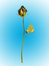 Dried rose on blue background Royalty Free Stock Photo