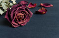 Dried rose, Dead rose Royalty Free Stock Photo