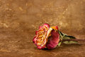 Dried rose on old leather Royalty Free Stock Photo