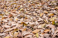 Dried rubber leaves fall on the ground Royalty Free Stock Photography