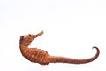 Dried Seahorse Isolated On Whi...