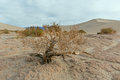 Dried Small Mesquite Tree in Death Valley National Park
