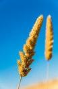 Dried summer grass in the australian sun against the background of a deep blue sky Stock Photography
