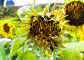 Dried sun flower natural background sunflower Stock Image