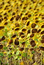 Dried sunflower field Royalty Free Stock Photo