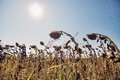 Dried sunflower field with the sun in the background Royalty Free Stock Photo