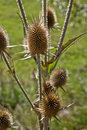 Dried thistle on a field in backlight Stock Images