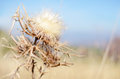 Dried thistle flower in the autumn mountain Stock Photography