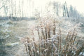Dried up blooming plant covered with hoarfrost in the early wint winter days suburbs Royalty Free Stock Image