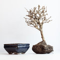 The dried up bonsai on a white background about flowerpot Stock Photography