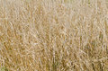 Dried up summer grass many snails stem wild plant texture Royalty Free Stock Image