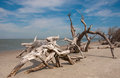 Driftwood on folly beach a large piece of is washed up the south carolina coast Royalty Free Stock Photo
