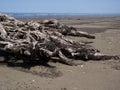 Driftwood on ocean beach Royalty Free Stock Photo